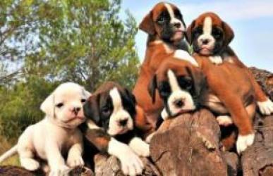 REGALO Boxer para Adopción