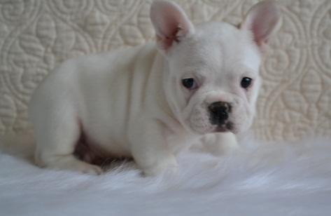 cachorros bulldog frances blanco