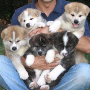 REGALO Akita Cachorros Para Adopción