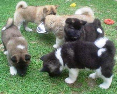 Regalo de cachorro Akita para casas nuevas