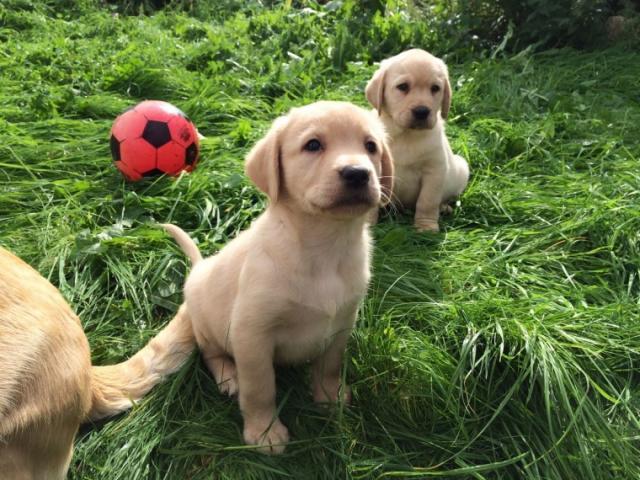 Regalo de cachorro Golden Retriever para casas nuevas
