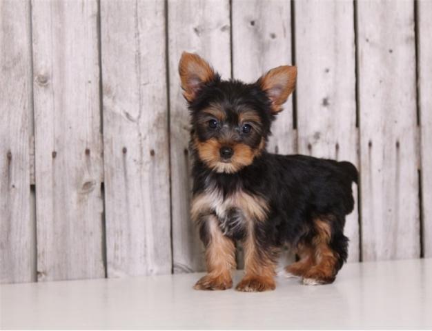 los mejores cachorros de Yorkshire Terrier en venta