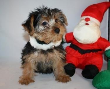 Yorkshire Terriers en venta
