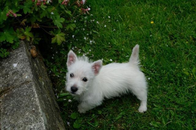 Regalo Westy cachorros para su adopción