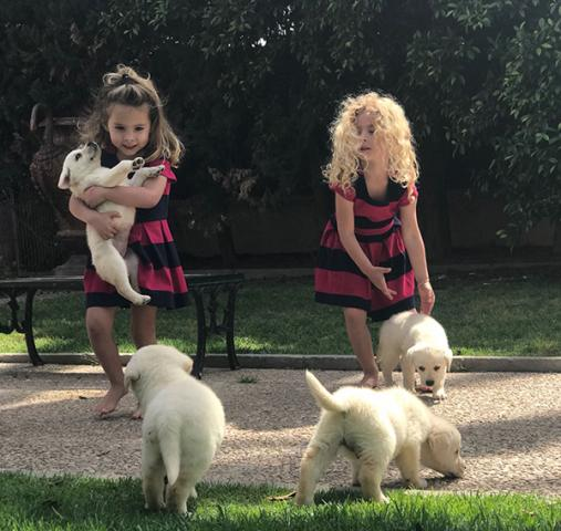REGALO Labradores Para Su Adopción