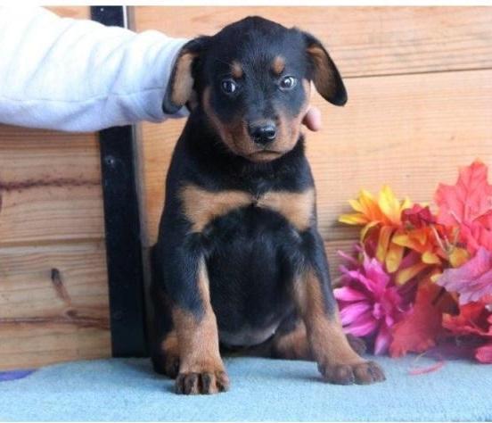 REGALO Rottweiler Para Su Adopción