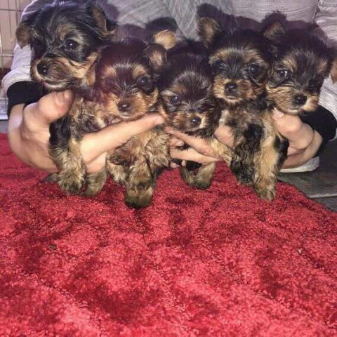 Machos y hembras disponibles yorkie