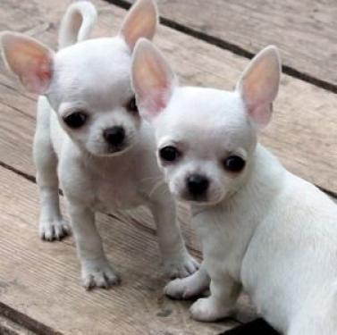 chihuahua cachorros para adopción