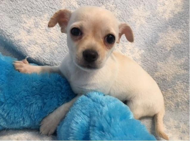 REGALO*Cachorro Chihuahua para nuevo hogar*