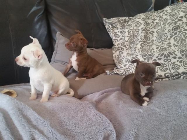 REGALO Chihuahua Mini Toy Para Adopción**100%**