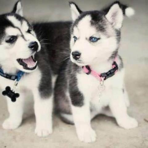 Husky siberiano Cachorros listos para un nuevo hogar ahora