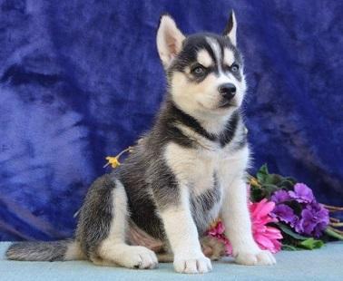 lindos cachorros de husky siberiano
