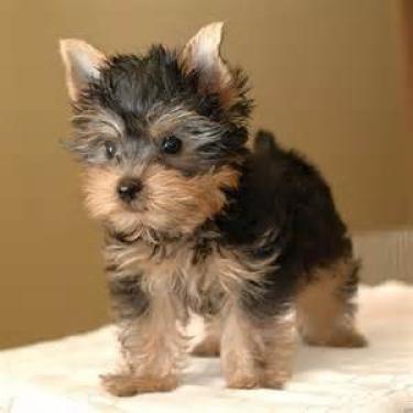 Regalo Registrado Teacup Yorkshire Terrier Cachorros