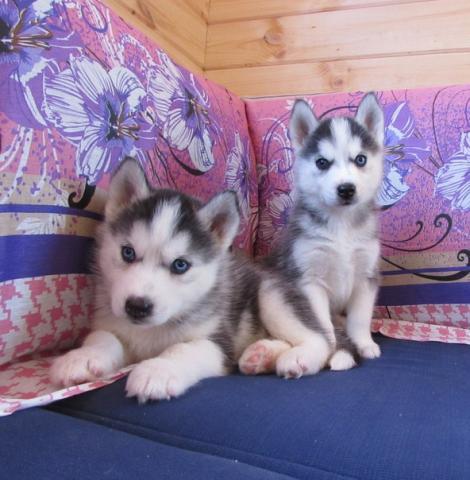 Regalo Brillante Husky siberiano para la adopción
