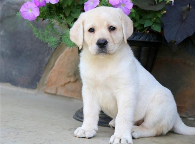 Regalo Inicio Labrador Retriever cachorros