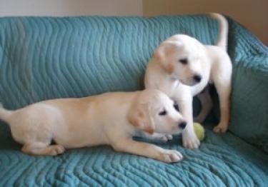 Regalo lindo labrador retriever cachorros disponibles