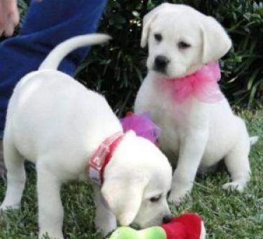 Regalo encantadoras cachorros labrador Retriever en venta