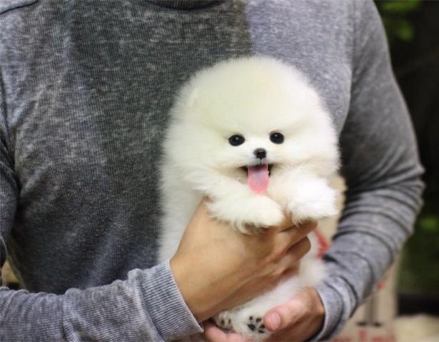 Regalo pomerania cachorros para su adopción