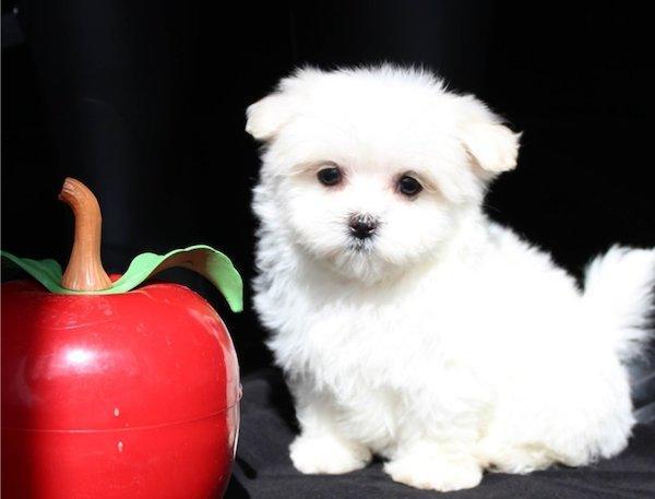 Cachorritos de Bichón Maltés de una Blancura Espectacular