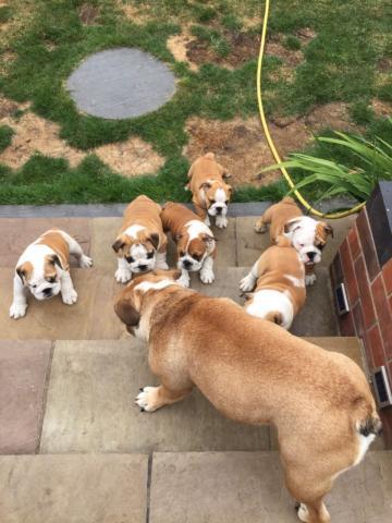 Cachorros de bulldog ingles machos y hembras