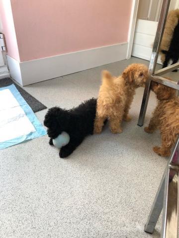 Cachorros de raza caniche toy