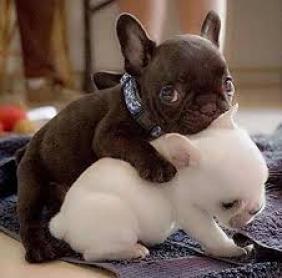 Regalo cachorros bulldog frances blanco y negro