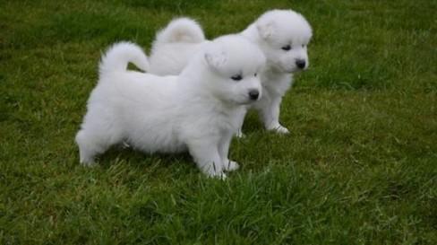 Regalo cachorros Samoyedo disponible