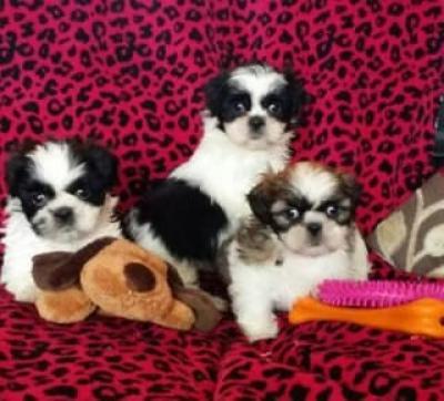 REGALO SHIH TZU mini toy Taza Necesita Una Nueva Familia