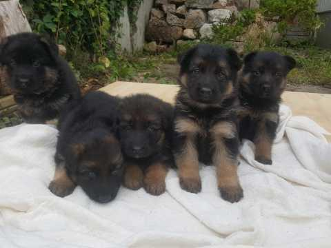Regalo 12Semanas Cachorros PASTOR ALEMAN Para Su Adopción