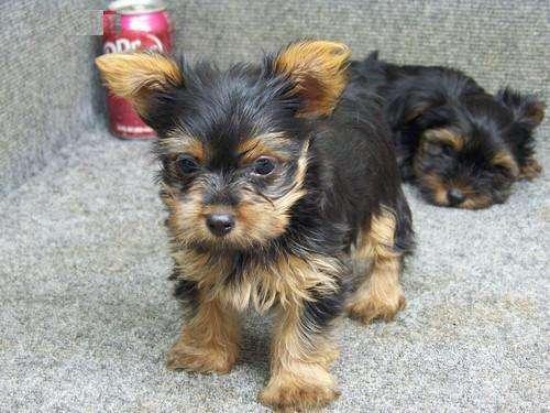RRegalo cachorros de yorkie para adopcion.euros fjfj