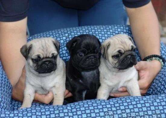 REGALO Cachorros CARLINO PUG Disponibles Para Su Adopción