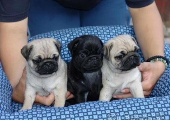 Regalo Adorables Cachorros CARLINO PUG Para Su Adopción