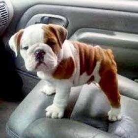 Regalo Impresionate Cachorros Bulldog Ingles