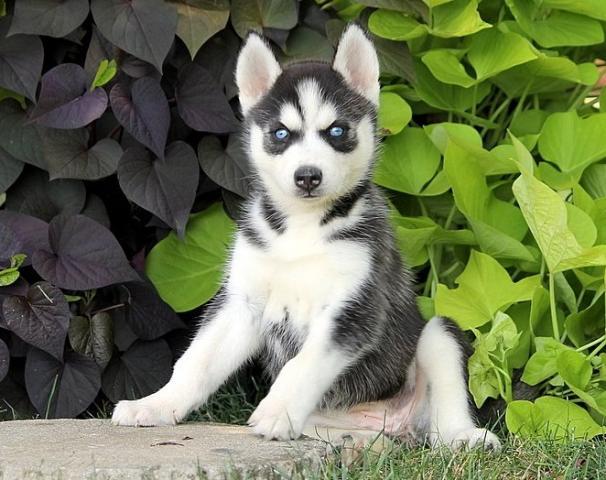 REGALO bien entrenados Cachorro husky siberiano