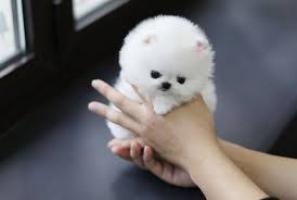 Regalo Cachorros Lulu Pomeranian Mini Toy,