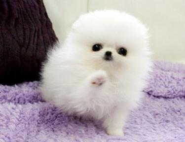 REGALO Lindo y adorable Cachorros de Pomerania mini toy