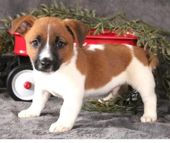 Regalo Jack Russell Terrier cachorros