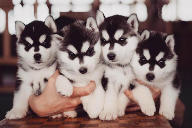 Regalo camadas de husky siberiano con pedigree loe