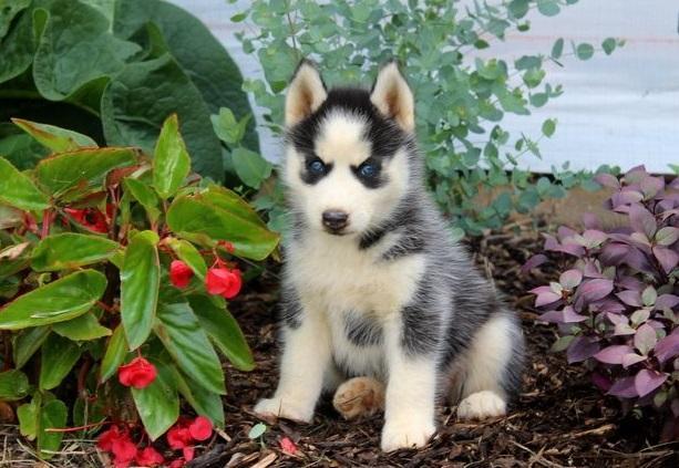 Regalo Cachorros HUSKY Saludables Para Su Adopción