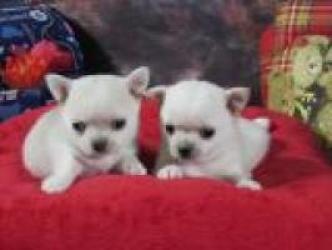 Regalo Sano CHIHUAHUAS Cachorros Para Su Adopción