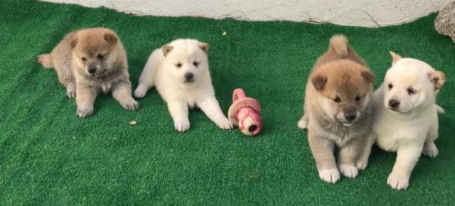 REGALO Casa tren Shiba Inu Cachorros Para Su Adopción