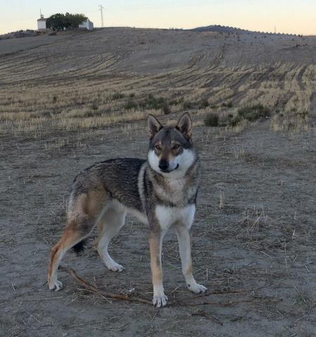 Camada perro lobo checoslovaco