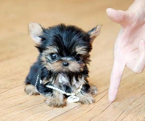 Regalo cachorros yorkshire mini toy