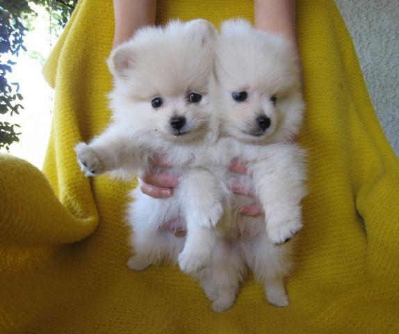 Regalo Cachorros Pomerania toy Para Su Adopción