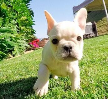 adorables cachorros de bulldog francés para aprobación