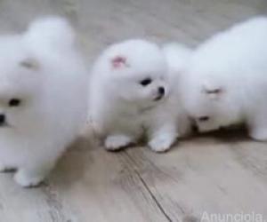 Estos cachorros de Pomerania mujeres y hombres sanos y encantado