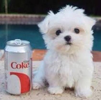 Regalo Cachorros Bichón Maltés Mini Toy Para Su Adopcion