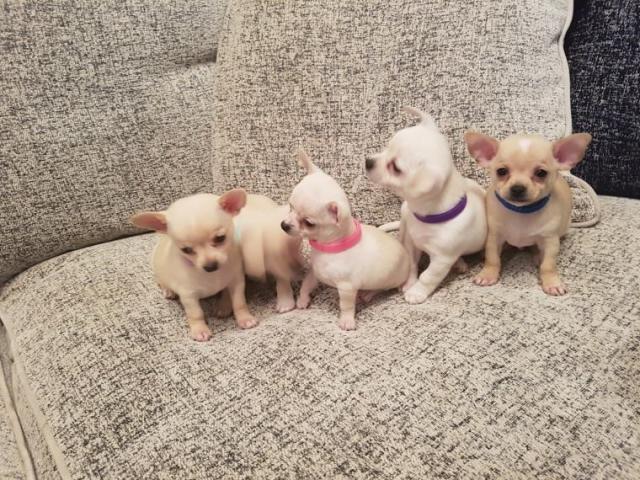 Regalo Lindo y adorable cachorros de Chihuahua mini toy