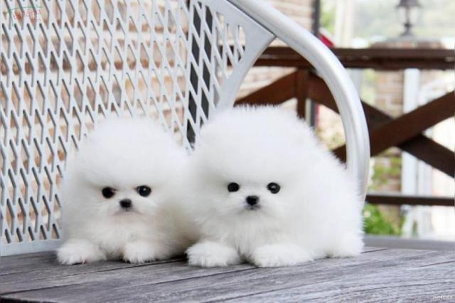 Regalo Pomeranian Toy bien Entrenado Para Su Adopción