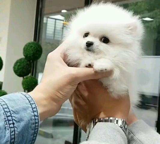 Regalo Pomeranian Toy Para Su Adopción